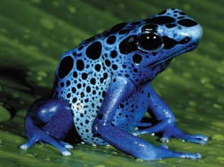 animals-blue-poison-frog-slide1
